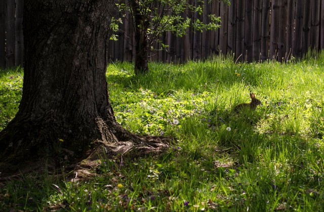 a native bunny from my backyard in Louisville Kentucky
