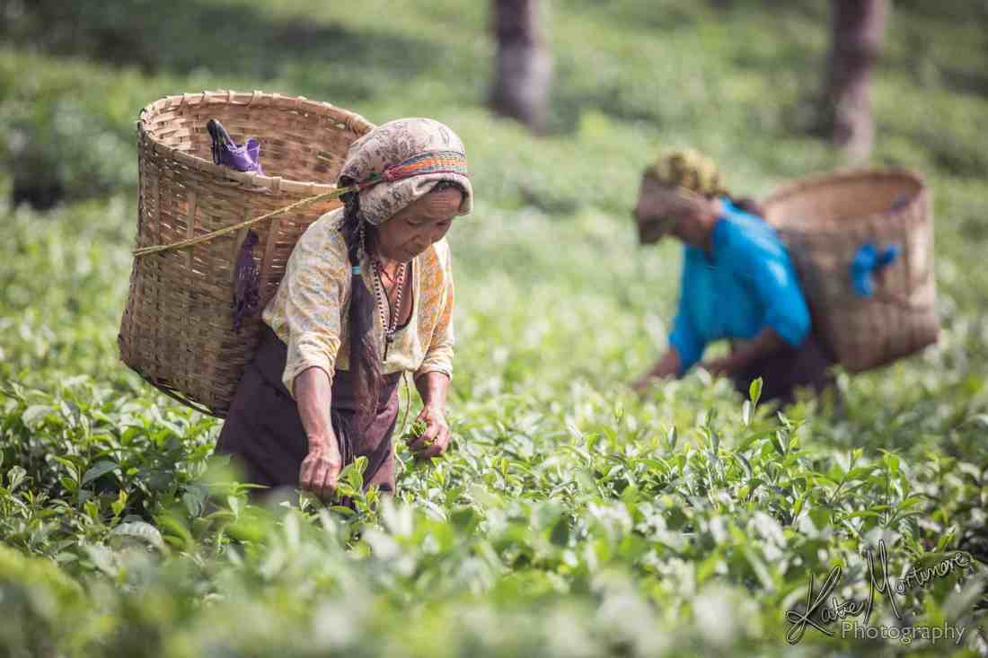 india darjeeling tea gardens