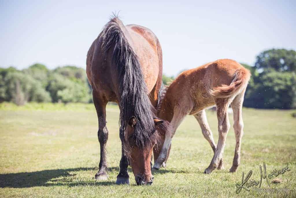 new forest pony hampshire photography photographe