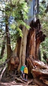 Why I love olympic national park: Large Cedar Tree