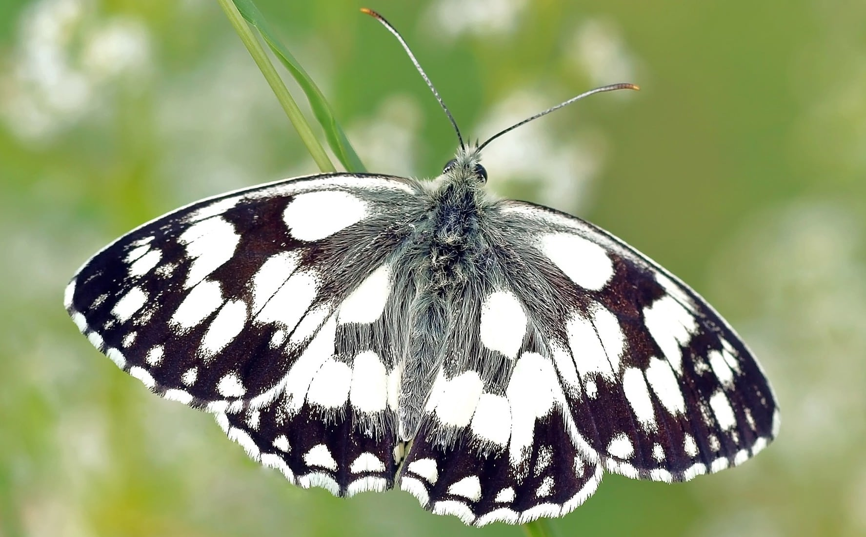 Alt Text: A photograph of a black and white moth or a butterfly I don't know which and someone will correct me. via Pixabay