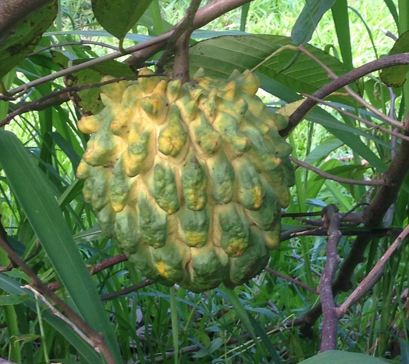 Rollinia growing on tree