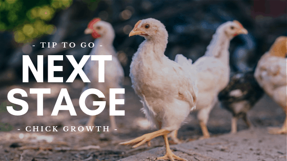 Chick Growth