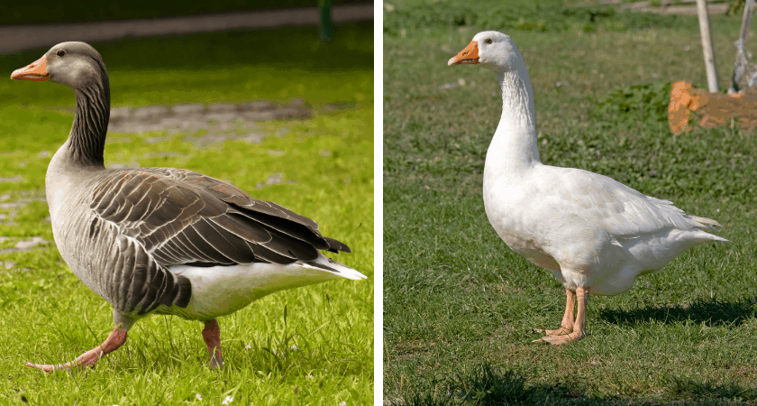 Meat Geese