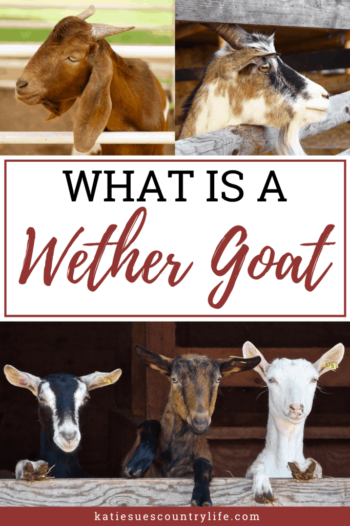 Wether Goat