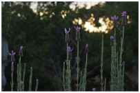 While I am on the verge of being allergic to the scent of lavender, I love the look of the stuff. These ones were standing like sentinels as the sun went down.