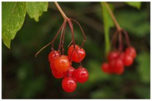 These berries are so tiny and perfect! I love all the red colours of Autumn.