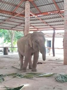 ช้างทองคำ
