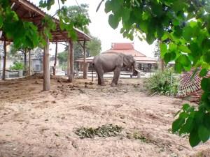 ช้างตัวใหญ่ที่มหาสารคาม