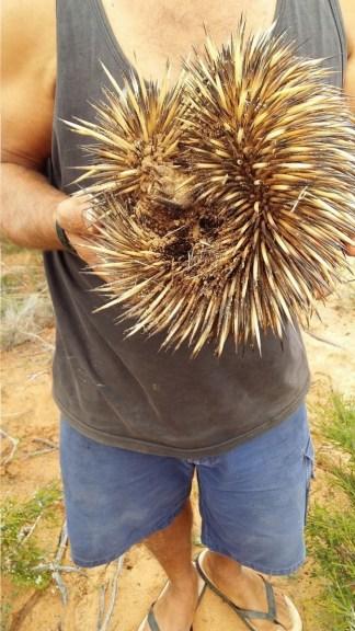Capes sammelt ein Echidna von der Straße ein