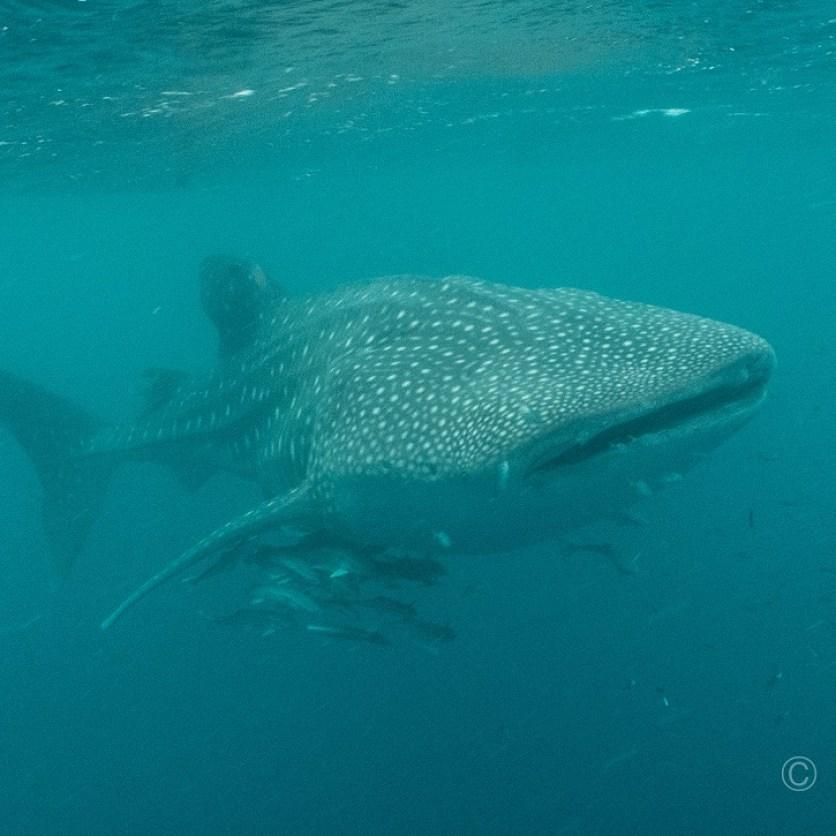 Der Walhai, neben dem ich schwimmen durfte