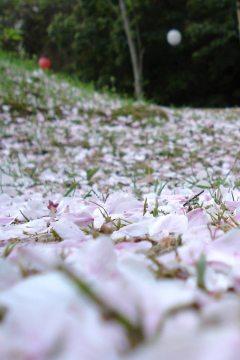Die Blütenblätter der japanischen Somei-yoshino Kirsche sind sehr empfindlich und blühen nur kurz. Ein Regenschauer oder Wind und die ganze Pracht liegt auf dem Boden.