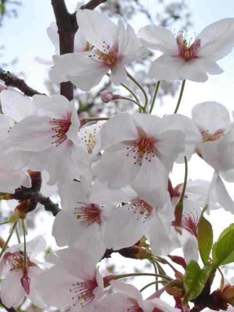 Sakura is coming: pünktlich zum Frühlingsanfang startett am 20. März 2017 meine Themenreihe zur Kirschblüte.