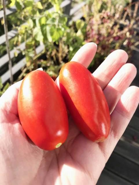 Die sonnengereiften San Marzano Tomaten für die Sushi habe ich auf meinem Balkon geernet.