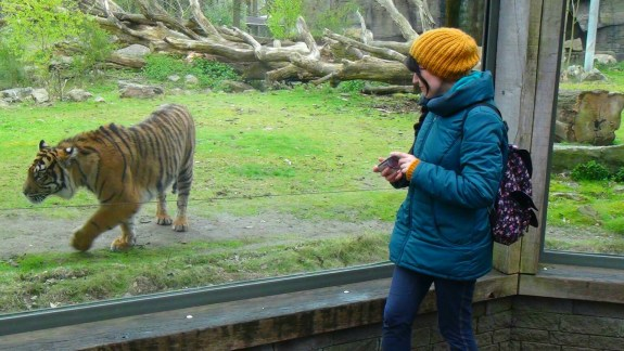 Tigers in the Rimba area of the Burger's ZOO