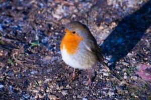 friendly robin at Woodsmill Sussex wildlife trust