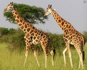 wildlife safari Uganda Kidepo National Park