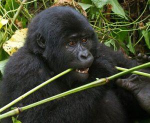 Gorilla Trekking Uganda gorilla trekking uganda - gorilla eating by katona tours 300x246 - 3 Days Gorilla Trekking Uganda