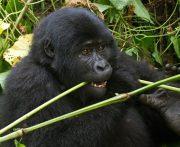 Gorilla Trekking Uganda gorilla trekking uganda - gorilla eating by katona tours - 3 Days Gorilla Trekking Uganda