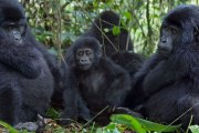Budget Gorilla Trekking Rwanda at 850USD