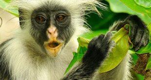 Uganda Primate Safari Bwindi Forest Uganda Primate Safari Bwindi Forest - kibale np by katona tours - 6 Days Uganda Primate Safari Bwindi Forest – Kibale Forest