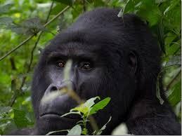 Gorilla Trekking Uganda gorilla trekking uganda - mountain gorillas in uganda by katona tours 1 - 3 Days Gorilla Trekking Uganda