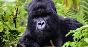 Gorilla Tour in Rwanda 1 Day gorilla tour in rwanda 1 day - Gorilla Tour Rwanda by Katona Tours - Gorilla Tour in Rwanda 1 Day