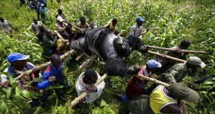 1 Day Gorilla Trekking in Congo Virunga National Park