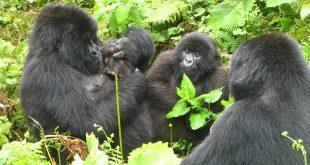 budget-gorilla-trek-rwanda-by-katona-tours