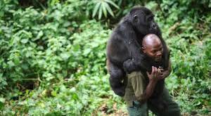 3 Days Gorilla Trekking Congo 3 Days Gorilla Trekking Congo - gorilla trackin congo by katona tours - 3 Days Gorilla Trekking Congo Virunga National Park