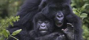 Rwanda Gorilla Tracking