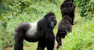 Gorilla and Chimpanzee Tracking