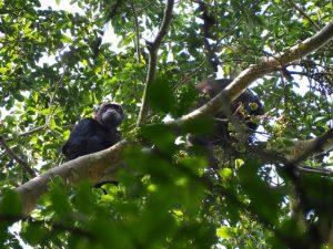 3 Day Gorilla Trekking 3 Day Gorilla Trekking - chimpanzee viewing by katona tours 1 300x225 - 3 Day Gorilla Trekking Tour