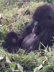 Double Gorilla Tracking Rwanda double gorilla tracking rwanda - gorill tracking rwanda by katona tours 225x300 - Double Gorilla Tracking Rwanda in Volcanoes Park 2 Days