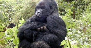 gorilla-safari-rwanda-by-katona-tours