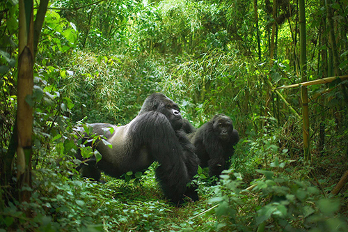 1 Day Group Gorilla Trekking Tour Uganda Mgahinga National Park