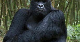 Mubare Gorilla Family
