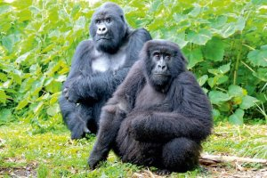 Best Gorilla Tours