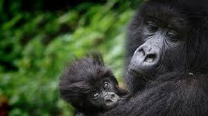 Buhoma Gorilla Group