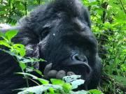 Bitukura Gorilla Group