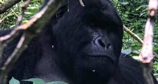Gorilla Trekking and Batwa Trail in Mgahinga Park