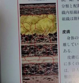 筋膜のつながりと鍼灸 【表層から深層、体表と内臓】