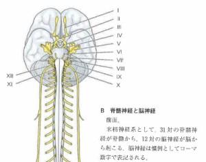 一宮市の青葦治療院の美容鍼は脳神経に効く