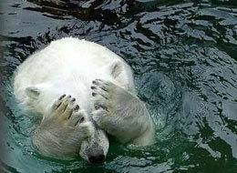 polar-bear-large