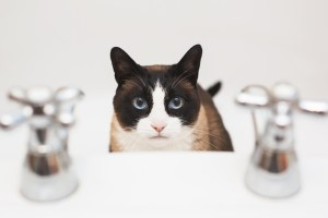 Darwen Lancashire - A snowshoe cat sitting in the bath looking up between the taps