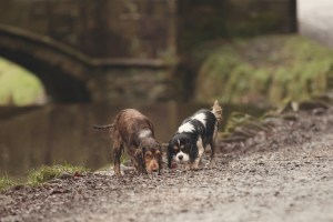Sunnyhurst Woods Darwen - Two dogs sniffing at the ground with a bridge in the background