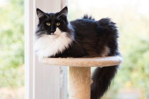 Darwen, Lancashire - Photo of a black and white Norwiegan Forest cat sitting on top of a cat tree in front of a window