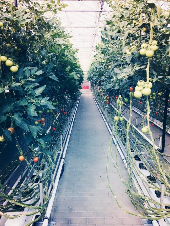 Tomatenstauden in der EFC-Farm. © katrin-lars.net