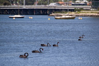 black swans in a river