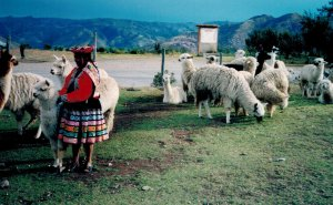 authentic woman with alpacas